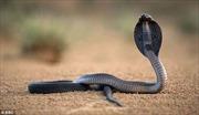 Bị rắn cắn, lão nông... cắn lại