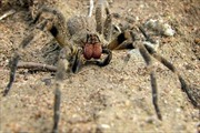 Chữa rối loạn cương dương bằng nọc độc nhện
