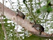 Cần quản lý chặt sinh vật ngoại lai