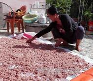 Ngư dân Quảng Trị được mùa ruốc biển