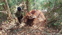 Chuyển rừng nghèo sang trồng cao su chưa hiệu quả