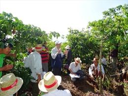 Nông dân trồng cà phê tăng 14% thu nhập sau 5 năm