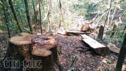 Lâm tặc ngang nhiên đốn hạ rừng Kon Tum