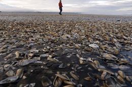 Cận cảnh xác ngao sò dạt trắng bờ biển Chile