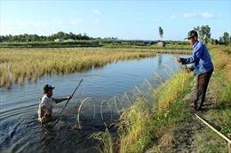 Đa dạng hóa tăng hiệu quả trong sản xuất lúa - tôm