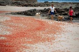 Hàng triệu con cua dạt đỏ rực bờ biển Mỹ