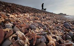 Sao biển chết hàng loạt trôi dạt vào bờ biển Australia