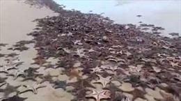 Sao biển chết hàng loạt ở Australia không liên quan đến bệnh