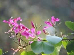 Điện Biên bảo tồn và phát triển diện tích trồng cây hoa ban