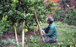 Cây xóa đói, giảm nghèo ở huyện miền núi Tuyên Quang