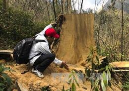 Điện Biên khẩn trương ngăn chặn khai thác trái phép gỗ pơ mu