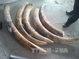 Truy tố đối tượng vận chuyển ngà voi châu Phi trái phép vào Việt Nam