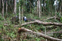 Rừng phòng hộ Bắc Trà My tiếp tục bị chặt hạ