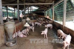 Khổ sở vì ô nhiễm môi trường do chăn nuôi lợn