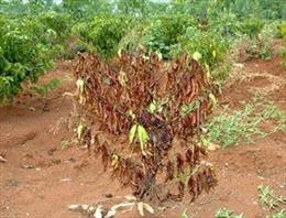 Đắk Nông: Cây trồng chết sau khi được... bón phân