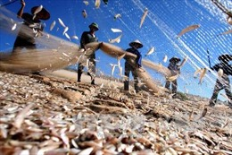 Ngư dân Ninh Thuận trúng đậm vụ cá Nam