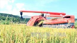'Gạo sạch Triệu Phong' - Hướng đi mới cho người dân vùng khó