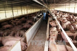 Lắp hầm khí biogas bằng vật liệu composite để phát triển chăn nuôi lợn