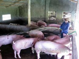 Nam Định: Trên 50.000 con lợn 'mòn mỏi' chờ xuất chuồng