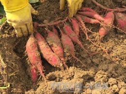 Mô hình trồng khoai lang Nhật Bản cho năng suất cao