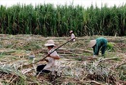 Nhà máy Đường Khánh Hòa tăng giá và cam kết thu mua hết mía