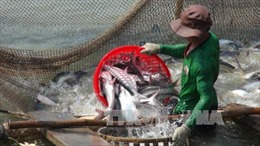 Giá cá tra nguyên liệu ổn định ở mức cao