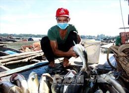 Tìm ra nguyên nhân khiến cá bớp chết hàng loạt tại Cà Mau