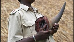 Nam Phi bắt giữ công dân Việt Nam mang sừng tê giác
