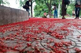 Ngẩn ngơ lộc vừng rắc thảm đỏ hồ Gươm