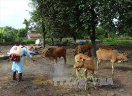 Nguy cơ bùng phát bệnh lở mồm long móng ở Đắk Lắk