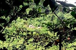 Voi rừng lại xuất hiện tại Quảng Nam