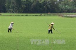 Đồng bằng sông Cửu Long đã gieo cấy hơn 355.000 ha lúa thu đông