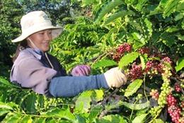 Đắk Lắk sản xuất cà phê áp dụng công nghệ cao còn nhiều hạn chế