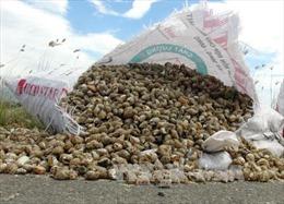 Ốc hương chết hàng loạt tại Khánh Hòa là do nhiễm khuẩn nặng