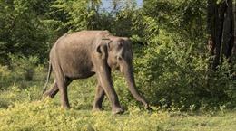 Ấn Độ hạ lệnh tử hình tại chỗ voi 'sát thủ hàng loạt'