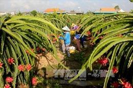Việt Nam xuất khẩu lô thanh long đầu tiên sang Australia