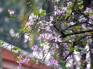 Hoa ban khoe sắc trên những góc phố Hà Nội