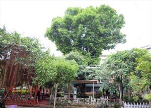Cây Kơ Nia đặc biệt ở thủ phủ Tây Nguyên