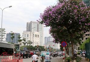 Hoa bằng lăng rợp tím trời Hà Nội