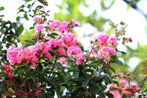 Tường vi hút hồn người yêu hoa