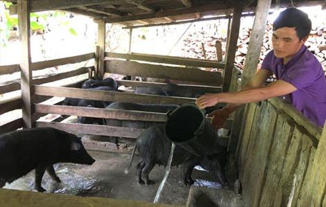 Làm giàu từ nuôi lợn thịt