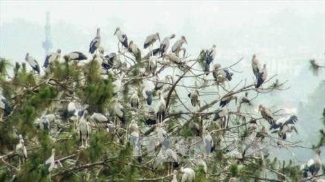 Cò ốc về ngày càng nhiều ở khu du lịch sinh thái Gáo Giồng, Đồng Tháp