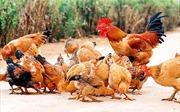 Bầy gà ta của nội