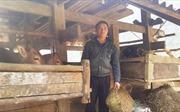 Thoát nghèo nhờ chăn nuôi nhốt chuồng