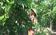 Đổi đời nhờ cây na dai