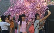 Khai mạc lễ hội hoa anh đào tại TP Hồ Chí Minh