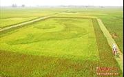 """Độc đáo tấm bản đồ Việt Nam từ """"lúa thảo dược"""""""