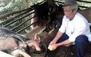 Thoát nghèo nhờ biết chăn nuôi