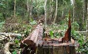 Bắt khẩn cấp đối tượng chủ mưu phá rừng, đốt trạm quản lý
