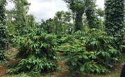 Tăng thu nhập nhờ xen canh cà phê với cây trồng khác
